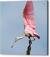 Pink Spoonbill Ready For Takeoff Acrylic Print