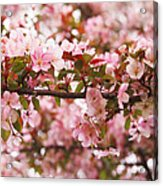 Pink Spring Apple Blossoms Acrylic Print