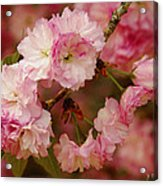 Pink Spring Blossoms Acrylic Print
