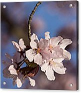 Pink Spring - Sunlit Blossoms And Blue Sky - Vertical Acrylic Print