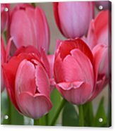 Pink Spring Tulips Acrylic Print
