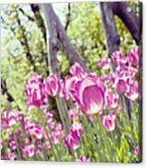 Pink Spring Tulips-light Acrylic Print