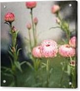 Pink Straw Flowers After A Light Rain Acrylic Print
