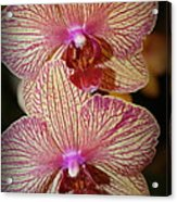 Pink Striped Orchids Acrylic Print