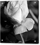 Pink Tea Rose 01 - Infrared Acrylic Print