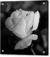 Pink Tea Rose 02 - Infrared Acrylic Print