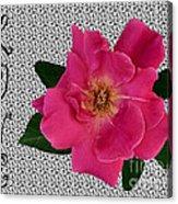 Pink Tea Rose Love Acrylic Print