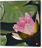 Pink Tilt... Acrylic Print