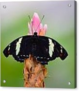 Pink Tip Butterfly Acrylic Print