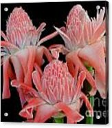 Pink Torch Ginger Trio On Black Acrylic Print