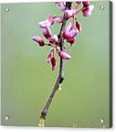 Pink Tree Flower Buds Acrylic Print