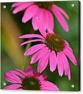 Pink Trifecta Acrylic Print