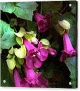 Pink Trumpets Acrylic Print