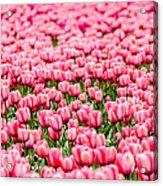 Pink Tulip Carpet  Acrylic Print