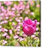 Pink Tulip Close-up Acrylic Print