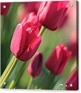 Pink Tulip Dream Birthday Card Acrylic Print