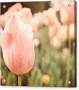Pink Tulip Field Acrylic Print