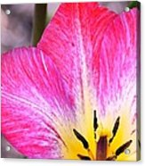 Pink Tulip Macro Acrylic Print