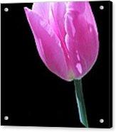 Pink Tulip Acrylic Print
