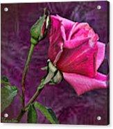 Pink Velvet Acrylic Print