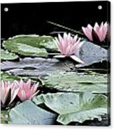 Pink Water Lilies Painting Acrylic Print