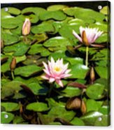 Pink Water Lilies Soft Focus Acrylic Print