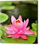 Pink Water Lilly Acrylic Print