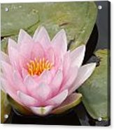 Pink Water Lily And Leaves Acrylic Print