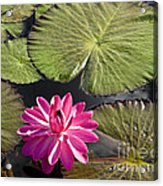 Pink Water Lily II Acrylic Print