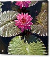 Pink Water Lily IIi Acrylic Print