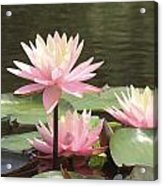 Pink Waterlilies Acrylic Print