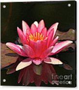 Pink Waterlily Acrylic Print