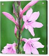Pink Watsona  Acrylic Print