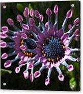 Pink Whirls Acrylic Print
