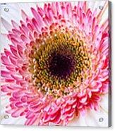 Pink White Daisy Acrylic Print