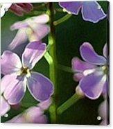 Pink Wildflwer Acrylic Print
