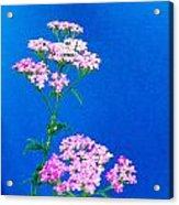 Pink Yarrow Acrylic Print