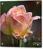Pink Yellow Rose 01 Acrylic Print