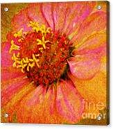 Pink Flower Wall Art Zinnia Floral Fine Art Acrylic Print