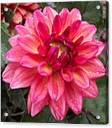 Pink Zinnia Flower Acrylic Print