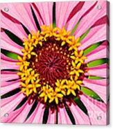 Pink Zinnia Macro Acrylic Print