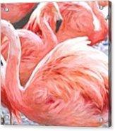 Pinked Flamingos Acrylic Print