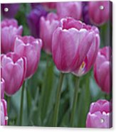 Pinks And Purples Acrylic Print