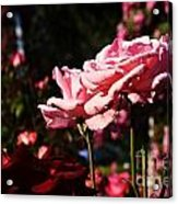 Pinks And Reds Acrylic Print