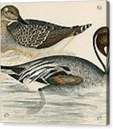 Pintail Duck Acrylic Print