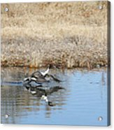 Pintail Takeoff From Water Acrylic Print