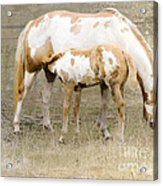 Pinto Mare And Filly Acrylic Print