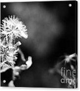 Pinwheels Acrylic Print by Barbara Shallue