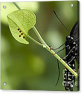Pipevine Swallowtail Mother With Eggs Acrylic Print