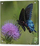Pipevine Swallowtail Visiting Field Thistle Din158 Acrylic Print